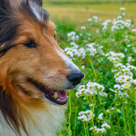 Wandering in the Wildflowers by Tim Hall - Animals - Dogs Portraits ( wildflowers, shetland sheepdog, sheltie )
