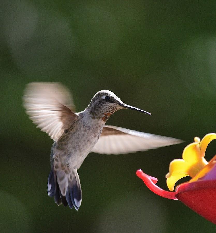 Hummer by Ed Hanson - Animals Birds ( bird, nature, in-flight, close-up, feeder )
