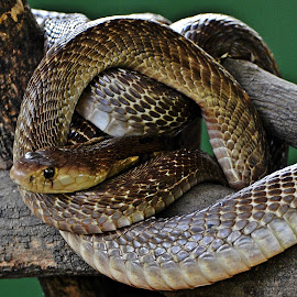 All curled up by Pradeep Kumar - Animals Reptiles