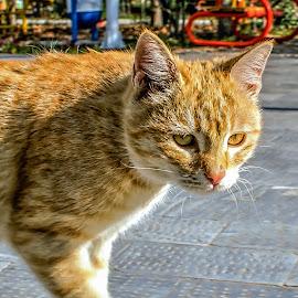 by Mohsin Raza - Animals - Cats Portraits (  )