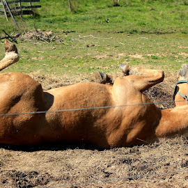 Roll over by Terry Herndon - Animals Horses