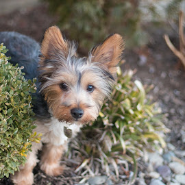 Brownie by Jill Zwick - Animals - Dogs Portraits ( canine, dogs, pets, dog portrait, dog playing )
