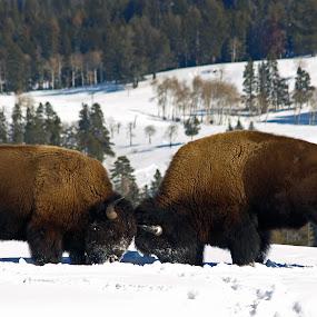 Bison Battle by Diana Treglown - Animals Other Mammals ( yellowstone, winter, butte, bison, montana, wyoming, snow, forest )
