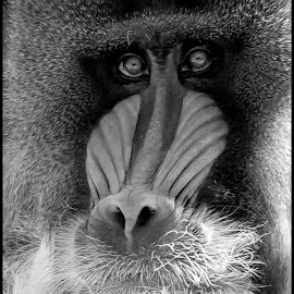 Mandrill by Dave Lipchen - Black & White Animals ( mandrill )