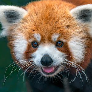 Red-Panda-Closeup-O-120212.jpg