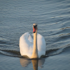 swan lake by Peter Rippingale - Novices Only Wildlife (  )
