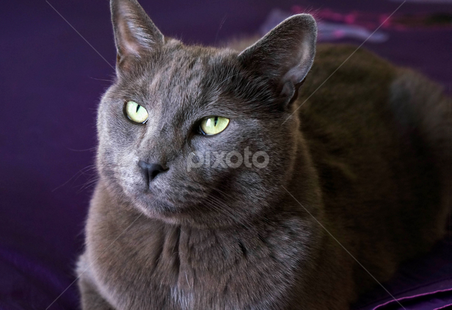Madison  by Loredana  Smith - Animals - Cats Portraits ( breed, face, cat, furry, beautiful eyes, loving, cute, pretty, sitting, pet, whiskers, special, paws, feline, animal )