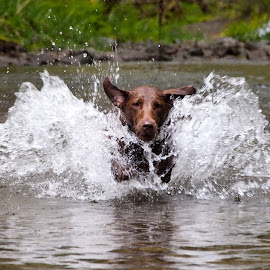 Daphne Running in Water 3 by David Leer - Animals - Dogs Running ( water, oregon, daphne, lincoln, 2015, coast range, drift, lab, close up, spring, portrait, chocolate, mountains, county, female, pet, outdoor, creek, dog, animal,  )