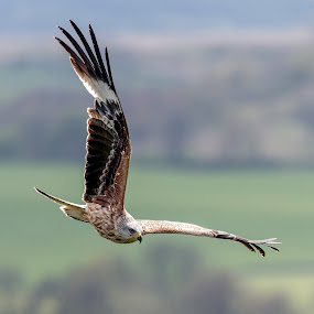 Red Kite with wings at right angles by Stephen Crawford - Animals Birds ( bellymack, wings, right angles, laurieston, red kite, feeding station, in flight )