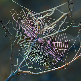 Rainbow Web by Billy Brooks - Nature Up Close Webs