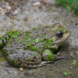 Freddy Frog by Sharon Bennett - Animals Amphibians ( nature, marsh frog, frog, amphibian, wildlife, pond life, pond )