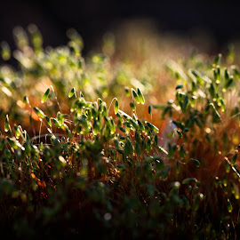 by Dale Pausinga - Nature Up Close Other plants ( plant, macro, green, moss, gold, moss buds, golden hour )