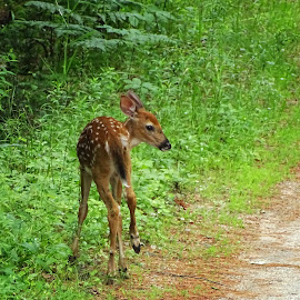 White Tailed Fawn by Paulette King - Animals Other Mammals ( animals, nature, wild animals, white tailed deer, wildlife, fawn, deer )