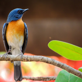 Tickell's blue flycatcher by Ankit Kerkal - Novices Only Wildlife ( pune, nikon, p510 )