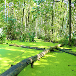 A green water in a forest by Svetlana Saenkova - Landscapes Forests ( forest, green, ooze )
