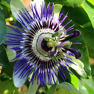 IMG_4831unsh1.5cropb20c15bighighdodflower.JPG