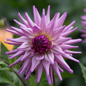 Quick Entry by Janet Marsh - Flowers Single Flower ( purple, dahlias,  )