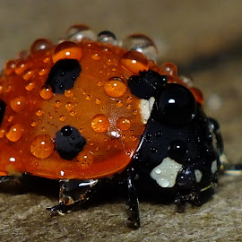 7 Spot Ladybird by Pat Somers - Animals Insects & Spiders
