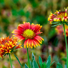 by Mohsin Raza - Flowers Flowers in the Wild (  )