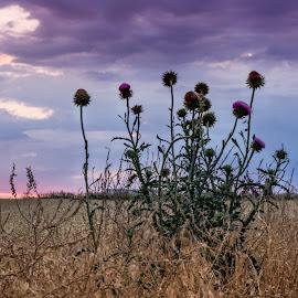 Wildflower Sunrise by Silvana Baumann - Landscapes Prairies, Meadows & Fields ( field, wildflowers, sunrises, landscape, purple flower )