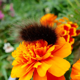 Wooly Bear on Marigold by Sandra Updyke - Nature Up Close Other plants ( nature, marigold, wooly bear, caterpillar, flowers )