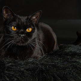 black on black by Rita Bruche - Animals - Cats Portraits ( mandalay, pedigree, cat, lying, kitty, black )