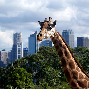 Giraffe with Sydney Skyline by Joanne Draper - Novices Only Landscapes ( zoo, australia, wildlife, landscape, animal, landmark, travel )