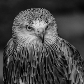 by Garry Chisholm - Black & White Animals ( raptor, bird of prey, nature, red kite, garry chisholm )
