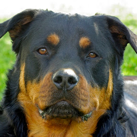 So handsome by Giselle Pierce - Animals - Dogs Portraits ( face, rotti, man's best friend, head, dog, animal, rottweiler )