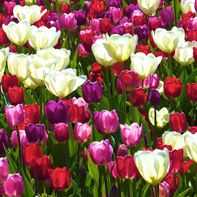 Tulips by Dustin Wawryk - Nature Up Close Gardens & Produce