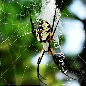 Creepy Crawler by Kristen O'Brian - Animals Insects & Spiders ( green, web, spider, yellow, spider web, black )