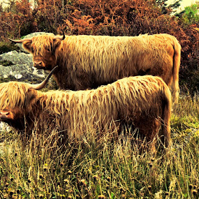 Highland Cattle hdr by Paul Stevenson - Animals Other ( highland, scotland, hdr, cattle, coast, west )