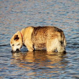 Ball Playing by Diane Garcia - Animals - Dogs Playing ( husky, goldenretriever, huskygolden, animal, dog, water )