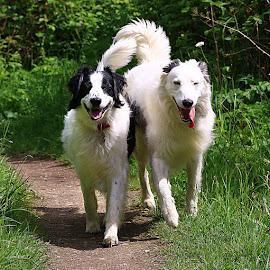 Happy Boys by Chrissie Barrow - Animals - Dogs Portraits ( walking, tails, lurchers, pet, male, white, fur, tongues, legs, dog, black, portrait )