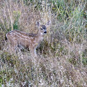 Black tailed deer (fawn)