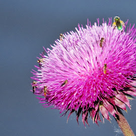 insects on thistle by Rita Flohr - Novices Only Wildlife ( water, bees, thistle, nature, wildlife, insects )