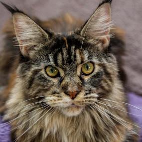 Tini by Tony Burnard - Animals - Cats Portraits ( pet, stare, maine coone cat, closeup )