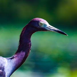 Deep blue by Justin Strang - Animals Birds ( little blue heron, animals, color, heron )