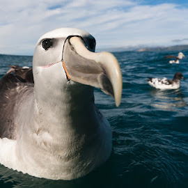 Albatross by Craig - Animals Birds ( albatross bird )
