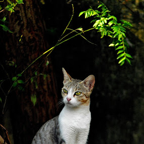 Such a majestic look! I know some of my friends in Face Book who will like this pic! by Govindarajan Raghavan - Animals - Cats Portraits (  )