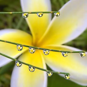 Yellow Plumeria on Ironwood Pine Needles by Margie MacPherson - Nature Up Close Natural Waterdrops ( up close, water drops, maui, macro, nature, green, pine needles, pine, yellow plumeria, ironwood,  )