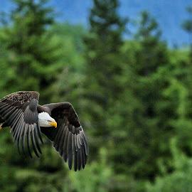 Top gun. by Todd Bellamy - Animals Birds ( predator, flight, eagle, raptor, birds )