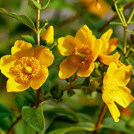 Trio yellow by Radu Eftimie - Flowers Flowers in the Wild ( three, yellow, flowers )