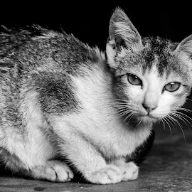 I am watching you  by Samiul Ansari - Animals Lions, Tigers & Big Cats ( potrait, cat, prime lens, black and white, nikon )