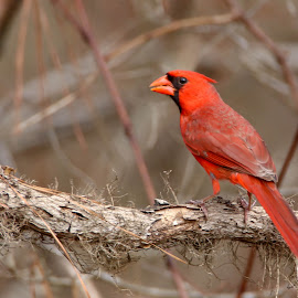 Cardinal by Jak Conrad - Novices Only Wildlife ( bird, wild, cardinal, wildlife, songbird )