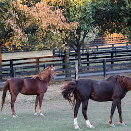 Who are you by Deborah Murray - Animals Horses ( fence, orange, horses, grass, autumn, green, trees )