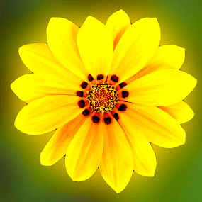 Gazania by Aamir Soomro - Nature Up Close Flowers - 2011-2013 ( pakistan, macro, grass, green, pc, bhurban, hotel, yellow, flower, yellow flower,  )