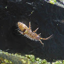 Elongate-bodied Springtail