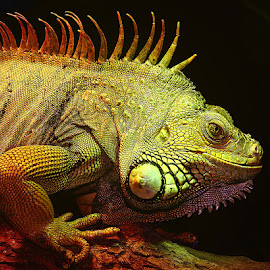 Red iguane by Gérard CHATENET - Animals Reptiles