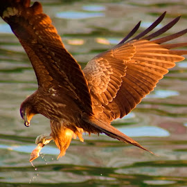 Kite taking off with fish by Francois Wolfaardt - Animals Birds ( fish, kite, raptor, take off, prey )